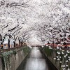 Hanami: A Celebration of the Cycles of life…with Cherry Blossoms!